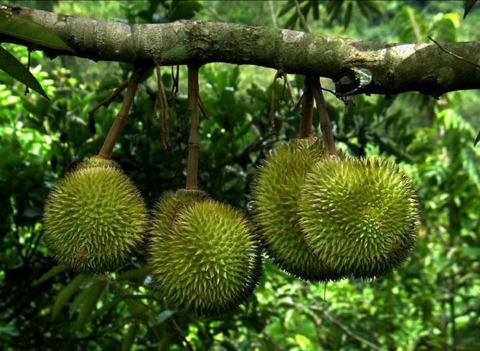 Дуриан - необычный фрукт, особенностью которого является неприятный запах