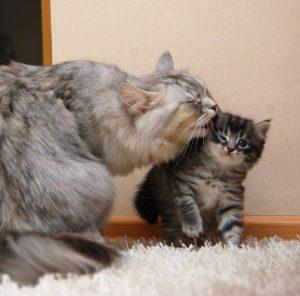 Представляем одну из самых пушистых пород котов Сибирский: характеристика и правила содержания
