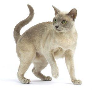 Одна из самых умных и долголетних пород котят Бурма: сколько стоит питомец и как ухаживать?