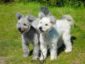 Прекрасный сторож собака пуми: советы, как найти общий язык с четвероногим другом