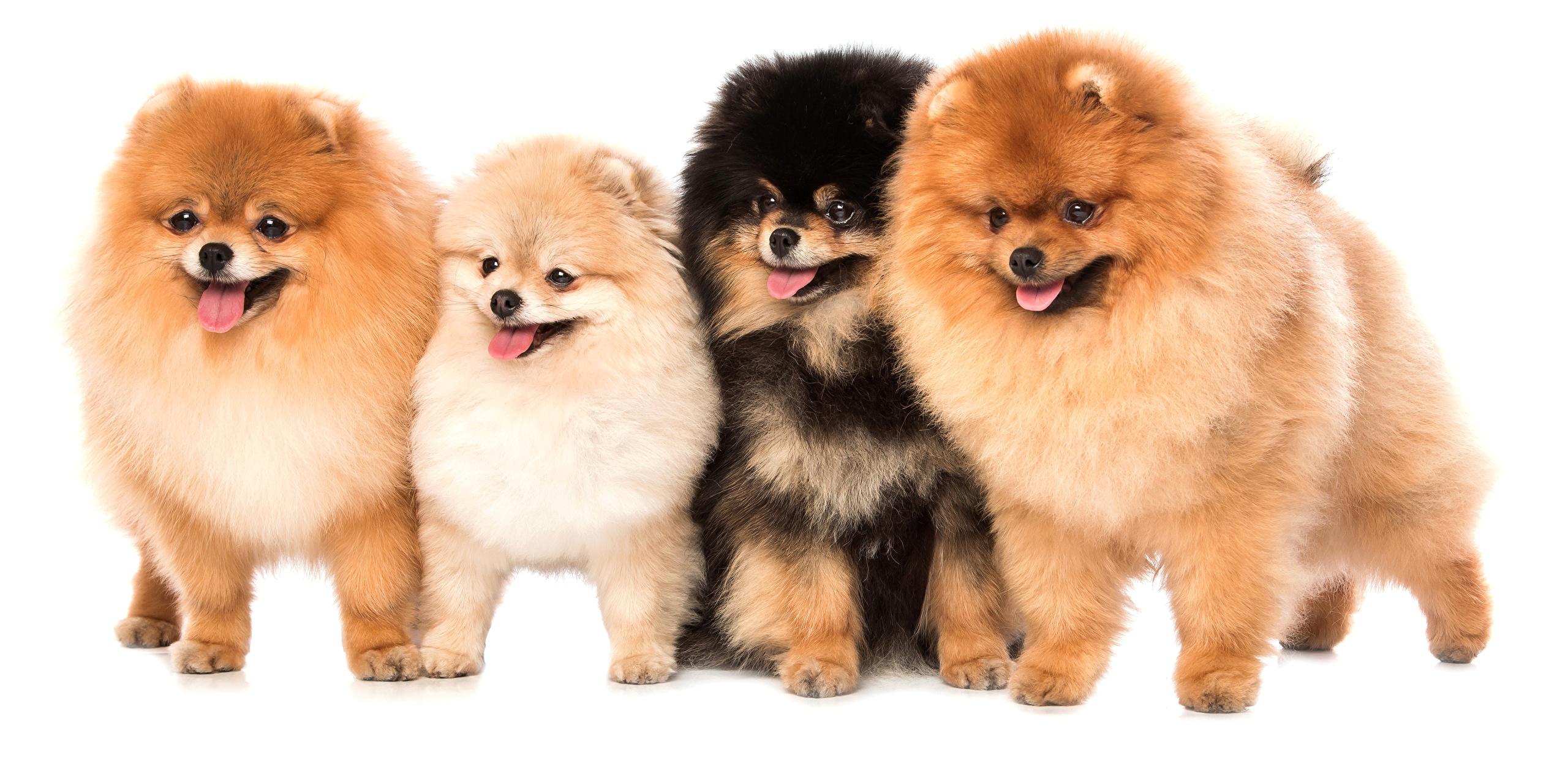 Лохматая и милая собачка Померанский шпиц: окрасы породы и описание