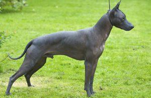 Мексиканская голая собака ксолоитцкуинтли: характер экзотического питомца