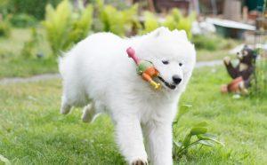 Разновидности собаки лайки: особенности породы, происхождение