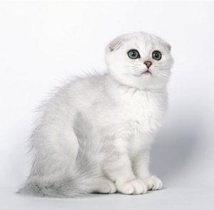 Секрет природного очарования породы кошек Шотландская шиншилла: полное описание питомцев