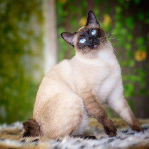 Полное описание и сравнение пород кошек похожих на Сиамскую: достоинства и недостатки питомцев