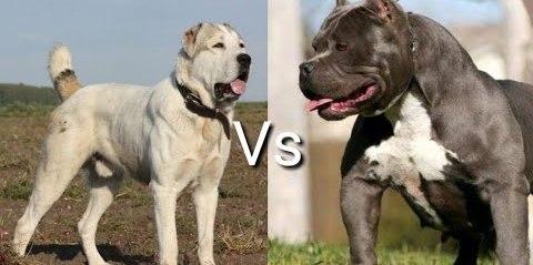 Полное сравнению самых сильных пород собак Питбуль или Алабай, кто сильнее?