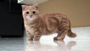 Манчкин: экзотическая порода кошек с короткими лапками