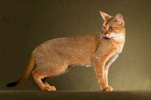 Камышовый кот чаузи: что представляет из себя этот редкий зверь