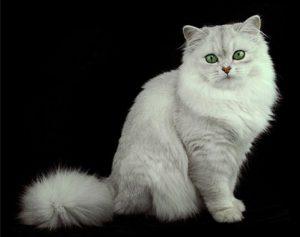 Кошки бурмилла: как подружиться с плюшевым экзотическим питомцем?