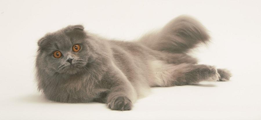 Самая обаятельная мохнатая кошка Шотландская длинношерстная: описание и характер породы