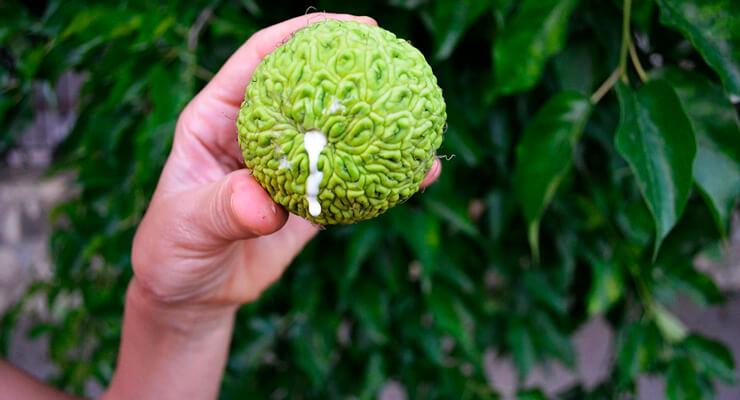 Адамово яблоко – наружное применение