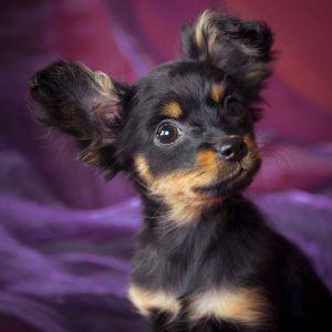 Энергичная и игривая собачонка Русский Той терьер: описание породы и характер