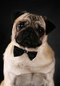 мопс с галстуком