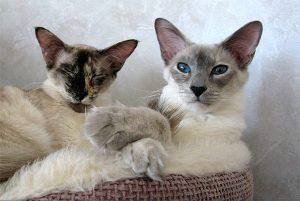 Знакомимся с балинезийской кошкой (балинез, балийская) с аристократичной внешностью