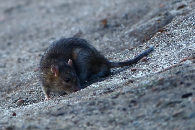 большая серая мышь