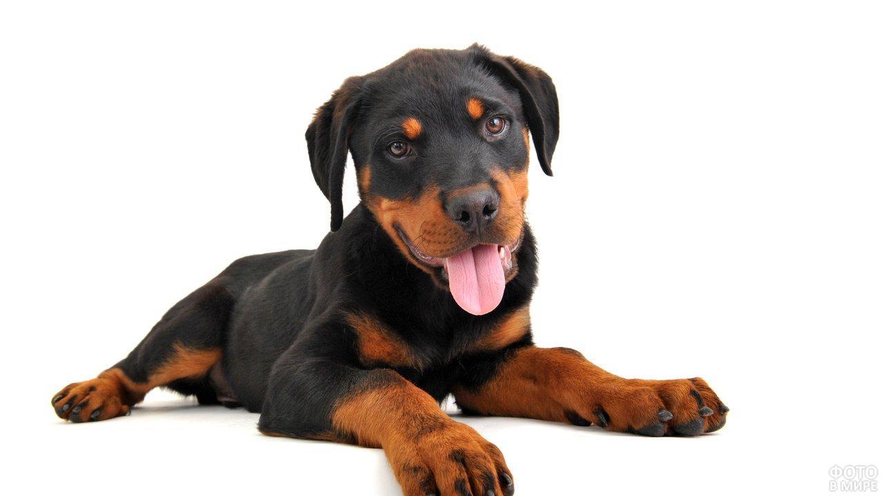 Здоровая и умная собака для охоты и охраны Ягдтерьер гладкошерстный: описание и характер породы