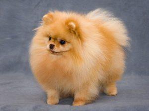 Несколько видов шпица: схожие черты и отличия, стоимость собак