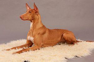 Добродушная и спортивная собака египетская фараонова: особенности породы