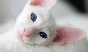 Голубоглазое чудо форин вайт: знакомимся с белоснежной красавицей
