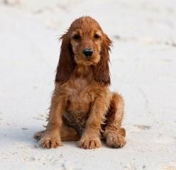 Стоимость щенка