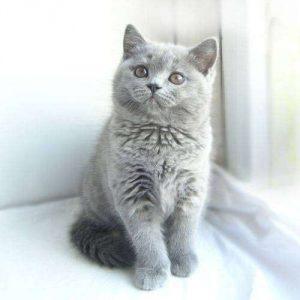 Правильно ли развивается питомец: вес британского котенка по месяцам в таблице