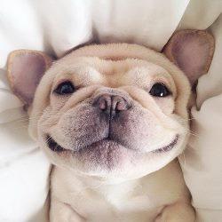 frebulldog