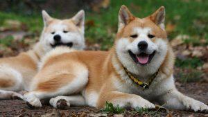 Сравнение собак породы сиба ину и акита ину: сходства и различия