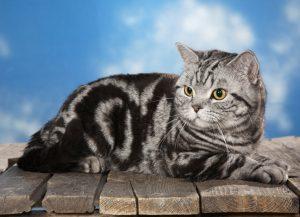 Разновидности окрасов кошек британской породы