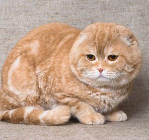 Отличительные черты плюшевой шотландской вислоухой кошки. Описание породы, рекомендации по уходу за скотиш-фолдом