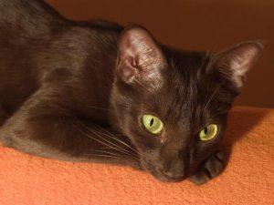 Зеленоглазая кошка гавана: особенности характера огненной красавицы