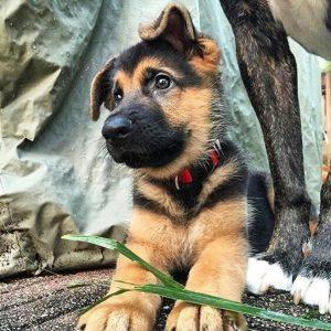 Оригинальные клички для Немецкой овчарки: как назвать собаку девочку и кобеля?