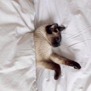 Очаровательная порода кошек Сиамская пушистая: описание характера, отзывы и цена