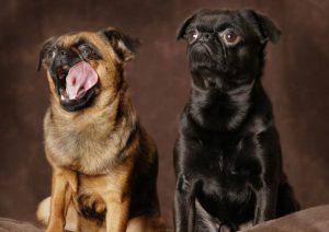 Миниатюрная собачка породы пти брабансон: происхождение, особенности характера