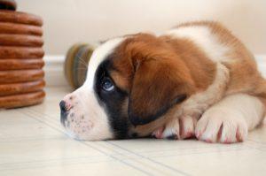 очаровательный щенок сенбернара