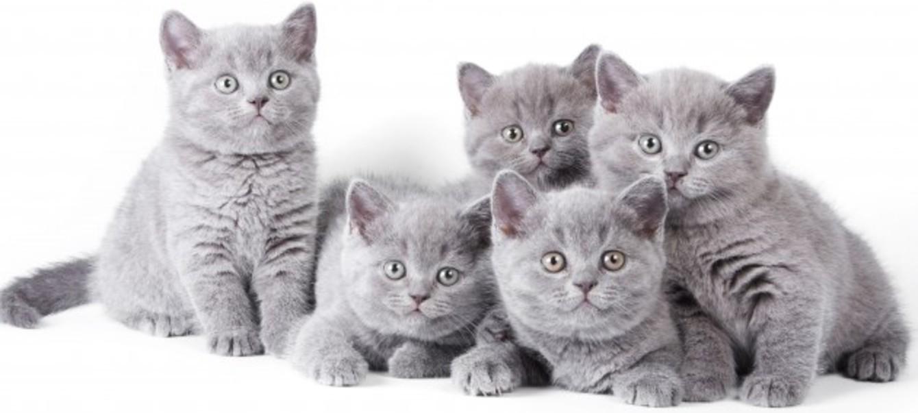 Список лучших кличек для Британских котов и кошек и их значение: как назвать домашнего питомца оригинально?