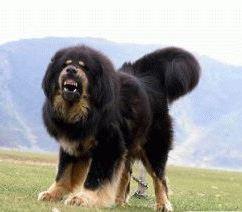 dogу-tibet