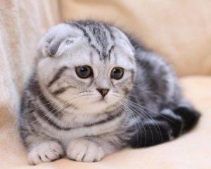 Британские вислоухие кошки: миф или реальность