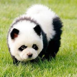 panda-chau-chau2