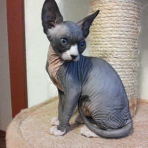 Уникальная и очень редкая порода кошек Велюровый Сфинкс: описание и характер