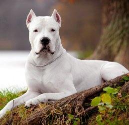 Аргентинский дог характер собаки и отзывы от владельцев