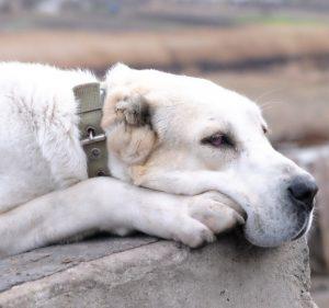 Превосходный охранник и член семьи Среднеазиатская овчарка (Алабай): характеристика породы