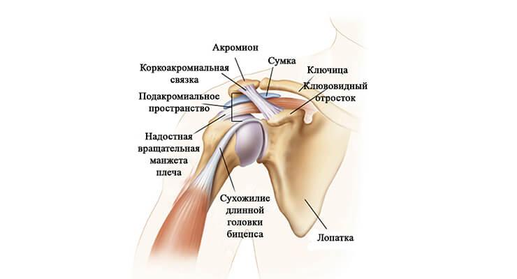 Строение и особенности плечевого сустава