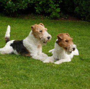 Маленькие, но невероятно сильные щенки Фокстерьер жесткошерстный: описание и отзывы о породе