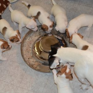 Преданный и азарной помощник Джек Рассел терьер: чем кормить и как воспитать собаку?