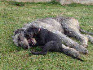 Ирландский волкодав: ищем подход к благородному гиганту