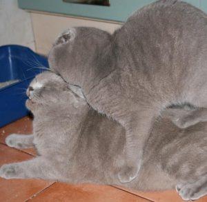 Важные правила и советы по вязке Шотландской вислоухой кошки: отзывы владельцев