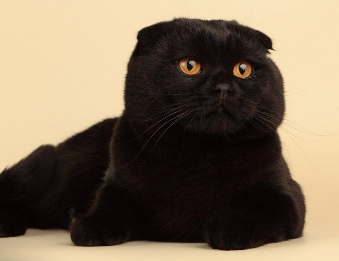 Шотландская вислоухая кошка: окрасы скоттиш фолда, их ...