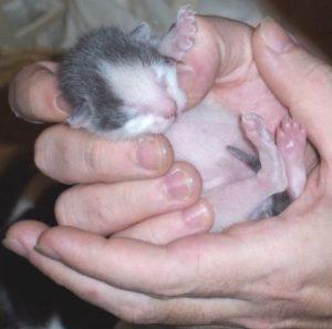 Вся полезная информация о том, сколько длятся роды и беременность Шотландской кошки