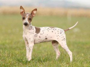 Разновидности голых пород собак, описание их внешних данных