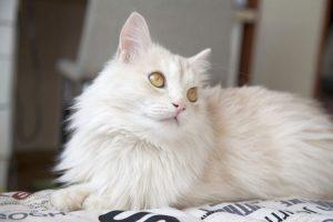 Рекомендации по уходу и содержанию за кошками породы турецкая ангора